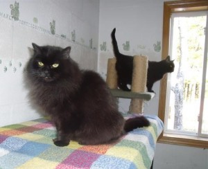 Black Cats in the Cattery
